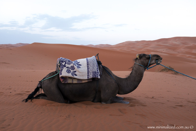 Camel resting in the Erg Chebbi dunes