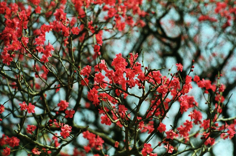 Ume blossoms in Tokyo