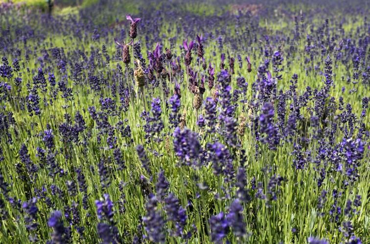 Lavender at Lavandula near Daylesford, Victoria