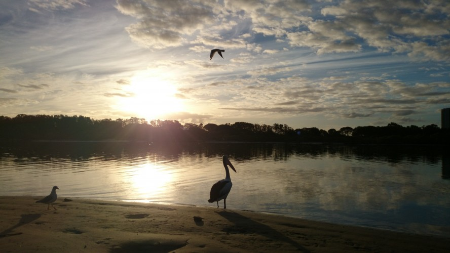 Pelican at the estuary, Currumbin